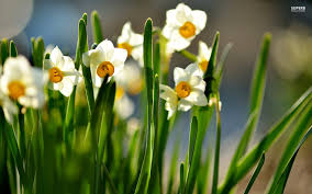 flower white spring flowers lovely petals pretty daffodils nature