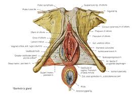Anatomy Of Reproductive System Female The Female Reproductive System Anatomy And Physiology