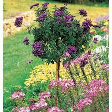 Fragrant Plants Heliotrope Fragrant Delight Topiary White Flower Farm