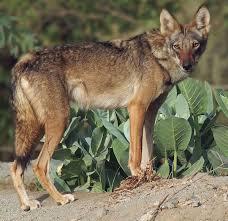 arabian wolf wikipedia