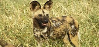 safari ltd african wild dog africas endangered predator african wild dog