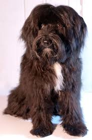 hair cuts for the tebelan terrier 229 best х tibetan terrier tsang apso dokhi apso images on