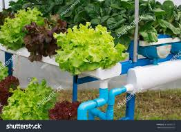 Hydroponics Vegetable Gardening by Hydroponics Method Growing Plants Water Without Stock Photo