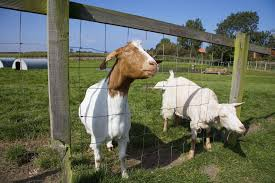 how to choose meat goat breeds for the small farm