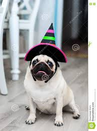 funny pug in hat little witch halloween dog halloween party