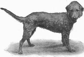 bedlington terrier stud the bedlington terrier part 4