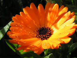 calendula flowers pot marigold marigold how to grow herbs herb herbs herb