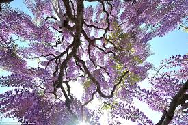 Tree With Purple Flowers Flowers That Are Out Of This World Enchanting Wisteria Vines In
