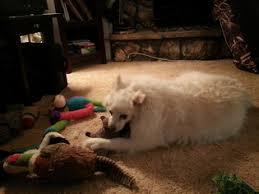 american eskimo dog apartment american eskimo dog dogs for adoption in usa