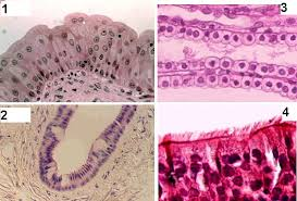 Pgcc Anatomy And Physiology Lab Practical Epithelial Tissue Quiz Tissue Slides Quiz Epithelial Tissue
