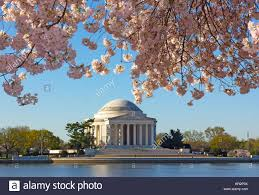 thomas jefferson memorial at dawn during cherry blossom festival