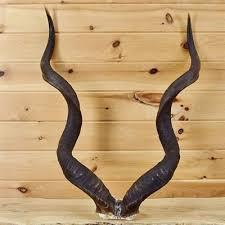 horns for sale kudu skull plate horns sw2773 for sale at safariworks