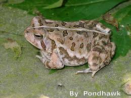 plants native to ohio ohio u0027s 15 species of frogs and toads at a glance trekohio
