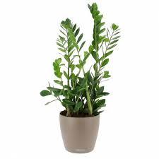 plante bureau livraison zamioculcas en bac à réserve d eau plante de bureau