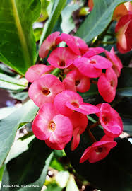euphorbia milii ch des moulins ornamental flowers and health