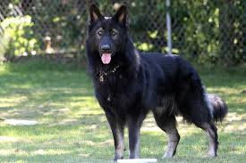 belgian shepherd labrador cross king shepherd wikipedia