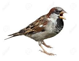 Sparrow by Male In Front Of White Background Isolated House Sparrow Passer