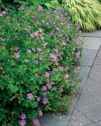 Long Blooming Annual Flowers - flowering ground covers fine gardening
