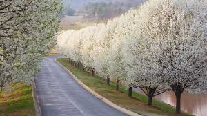 why bradford pears are the worst tree southern living
