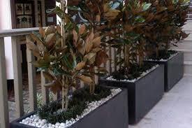 magnolia little gem classic plants the urban balcony