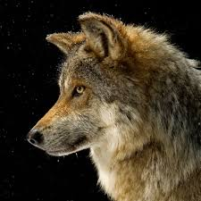 gray wolf national geographic