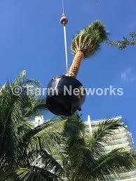 sylvester palm tree sale palm nursery 786 255 2832 we deliver plant nurseries