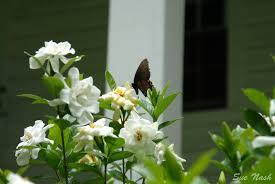 Gardenias by Gardenia Heavenly Raindrops