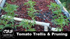 tomato pruning trellising advanced aquaponic tomato growing