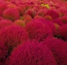 50 burning bush seeds kochia scoparia grass ornamental herb fall