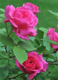 rose zephirine drouhin the thornless rose