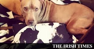 american pitbull terrier ireland the law about u0027dangerous u0027 dogs is worse than their potential bite
