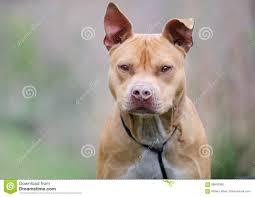 american pit bull terrier website rednose american pitbull terrier dog walton county animal shelter