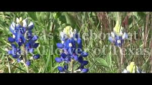 playmemories texas bluebonnet state flower of texas youtube