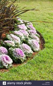 white and purple heads of ornamental kale in a garden bed stock
