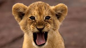 beautifull wallpapers of lions in hd