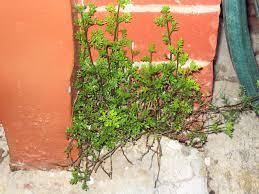 australis plants australian native plants australian native plants page 2 the corroboree