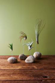 best 25 air plant display ideas only on pinterest air plants