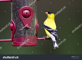 american goldfinch feeding on thistle seed stock photo 77501071