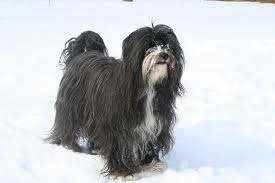 Do All Short Haired Dogs Shed by Is Your Dog Shedding A Lot Blame The Weather Urgentvet