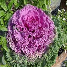 ornamental kale vegetable seeds brassica oleracea 50seeds