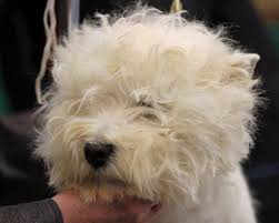 boxer dog crufts 2014 pedigree dogs exposed the blog westies how to make up a champion