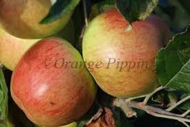 Online Fruit Trees For Sale - jonathan apple trees for sale buy online friendly advice