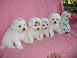 bichon frise dog breeders bichon frise puppies bichon frise puppies bender farm