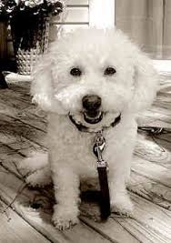 bichon frise dog breeders 333 best bichon images on pinterest bichons bichon frise and