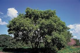trees are also native plants native tree spotlight in defense of box elder
