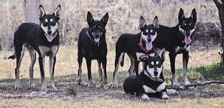 australian shepherd puppies queensland karmala