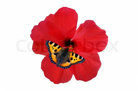 butterfly on a hibiscus flower stock photo colourbox