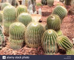 cactus flower ornamental plants plants tolerate heat stock photo