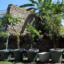 a kitchen garden in kihei maui growing container fruit trees in kihei