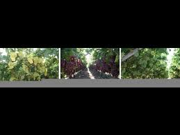 Planting Grapes In Backyard How To Grow Perfect Grapes How To Grow Grapes In Backyard My Grape